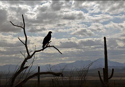 tucson bird
